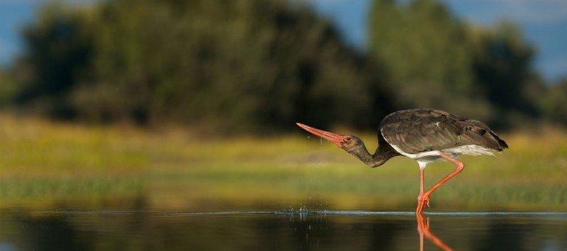 Extremadura cuenta con el 74% de su territorio protegido, donde se puede avistar el 35% de las especies europeas. En la imagen, una cigüeña negra.