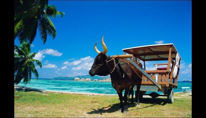 El buey-taxi, típico medio de transporte en Islas Seychelles (Foto de Traveller).