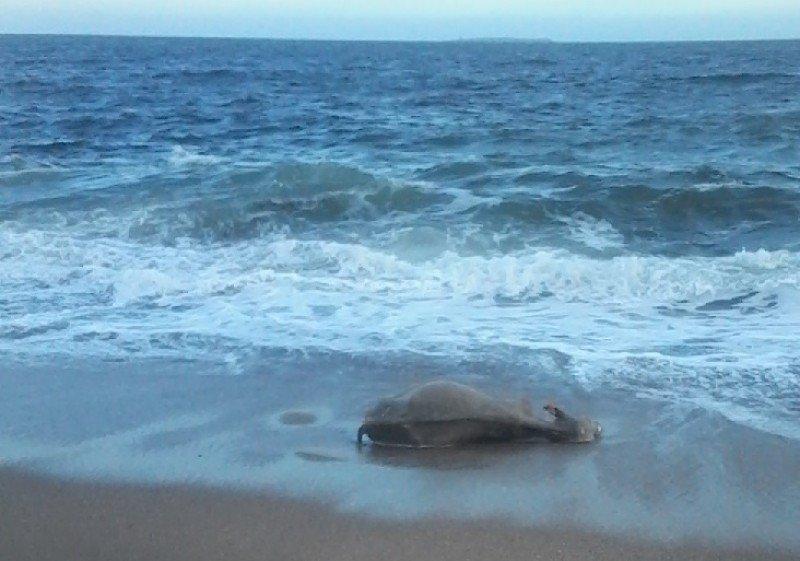 Ternero arrojado por el mar a la Playa de los Ingleses, Punta del Este, tras inundación. Foto FM Gente
