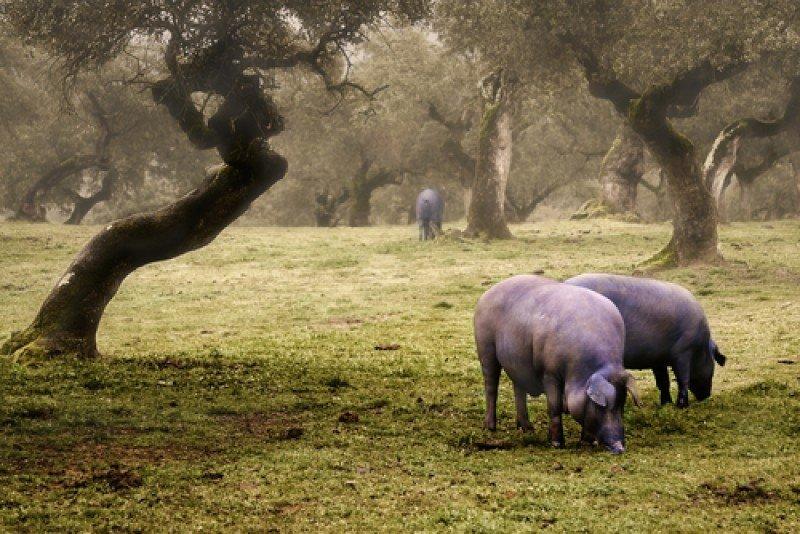 Cerdos ibéricos en la dehesa extremeña. #shu#