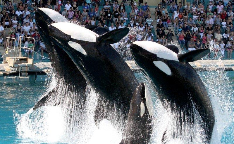 El espectáculo de orcas en el parque Marineland Antibes, en la Costa Azul francesa.