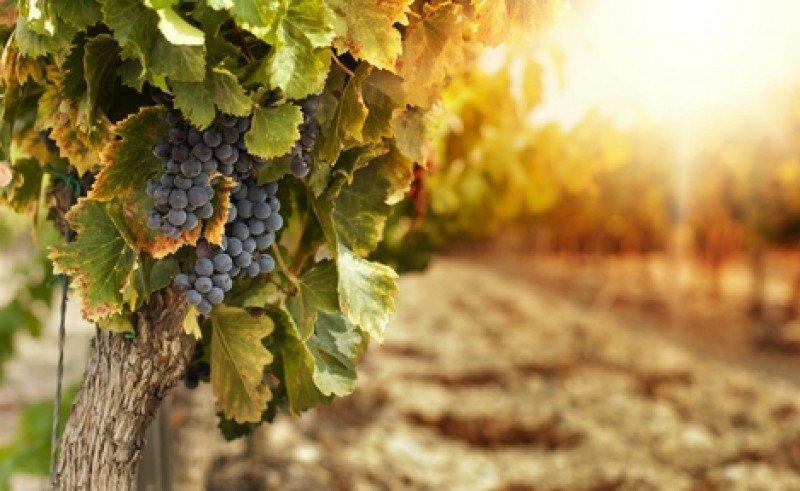 El turismo de bodegas y viñedos es uno de los fuertes del campo uruguayo. #shu#
