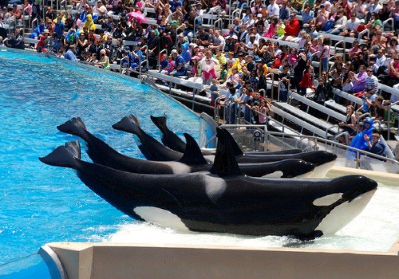 Los espectáculos con orcas se encuentran en el centro de una polémica más fuerte que nunca. #shu#