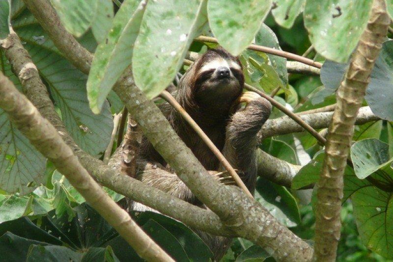 Perezoso en el Parque Nacional Soberanía de Panamá. #shu#
