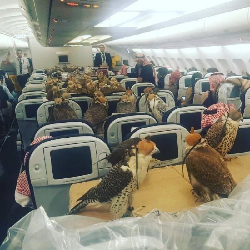 Un prícipe saudí le compró un pasaje de avión para sus 80 halcones.