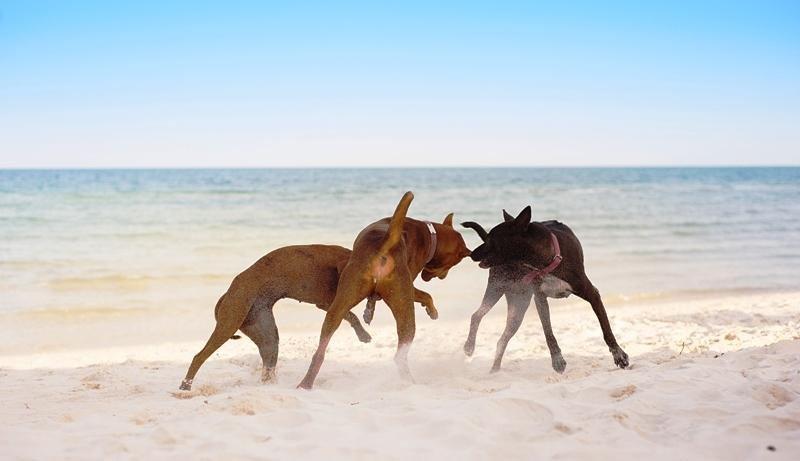 Un grupo de perros jugando en la playa.