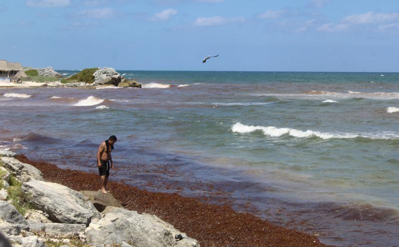 Es el quinto año seguido que las plyas del Caribe mexicano son afectadas por el sargazo. Foto: Sipse